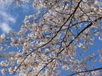 Sakura08_1